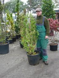 Strauch-Eibisch 'Hamabo' / Hibiscus syriacus 'Hamabo' 125-150 cm im 30-Liter Container