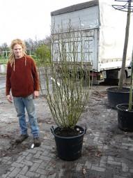 Strauch-Eibisch 'Hamabo' / Hibiscus syriacus 'Hamabo' 150-175 cm im 35-Liter Container