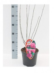 Strauch-Eibisch 'Ardens' / Hibiscus syriacus 'Ardens' 40-60 cm im 3-Liter Container