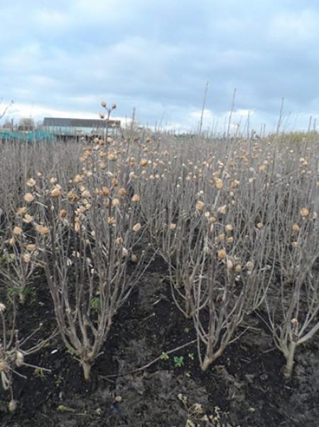 strauch eibisch hamabo hibiscus syriacus hamabo