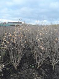 Strauch-Eibisch 'Woodbridge' / Hibiscus syriacus 'Woodbridge' 80-100 cm mit Ballierung