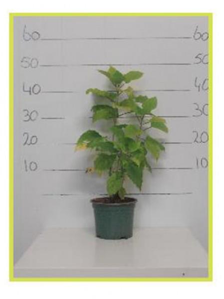 schneeball hortensie 39 annabelle 39 hydrangea arborescens 39 annabelle 39 30 40 cm im 2 liter. Black Bedroom Furniture Sets. Home Design Ideas