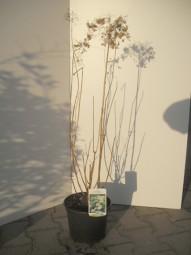 Schneeball-Hortensie 'Annabelle' / Hydrangea arborescens 'Annabelle' 40-60 cm im 4-Liter Container