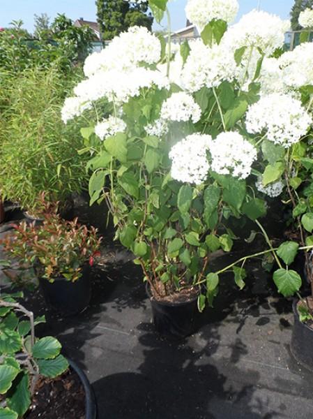 schneeball hortensie 39 annabelle 39 hydrangea arborescens 39 annabelle 39 60 80 cm im 10 liter. Black Bedroom Furniture Sets. Home Design Ideas