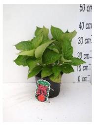 Bauern-Hortensie 'Leuchtfeuer' / Hydrangea macrophylla 'Leuchtfeuer ®' 30-40 cm im 2,5-Liter Container
