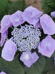 Teller-Hortensie 'Blaumeise' / Hydrangea macrophylla 'Blaumeise' 30-40 cm im 5-Liter Container