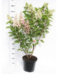Rispen-Hortensie 'Pinky Winky' / Hydrangea paniculata 'Pinky Winky ®' 60-80 cm im 7-Liter Container