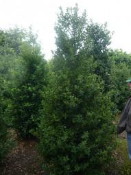 Stechpalme / Hülse / Ilex aquifolium 250-300 cm Solitär mit Drahtballierung