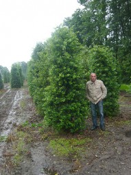 Stechpalme / Hülse / Ilex aquifolium 300-350 cm Solitär mit Drahtballierung