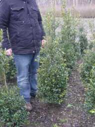 Stechpalme / Hülse 'Alaska' / Ilex aquifolium 'Alaska' 100-125 cm mit Ballierung