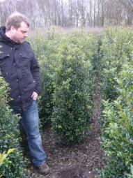Stechpalme / Hülse 'Alaska' / Ilex aquifolium 'Alaska' 125-150 cm mit Ballierung