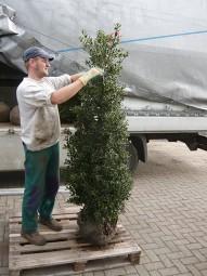 Stechpalme / Hülse 'Alaska' / Ilex aquifolium 'Alaska' 175-200 cm mit Ballierung