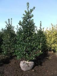 Stechpalme / Hülse 'Alaska' / Ilex aquifolium 'Alaska' 200-250 cm Solitär mit Drahtballierung