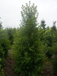 Stechpalme / Hülse 'Alaska' / Ilex aquifolium 'Alaska' 250-300 cm Solitär mit Drahtballierung