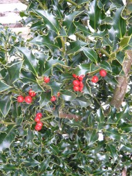 Stechpalme / Hülse 'Alaska' / Ilex aquifolium 'Alaska' 80-100 cm mit Ballierung