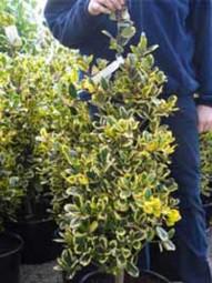 Weißbunte Gartenhülse 'Argentea Marginata' / Ilex aquifolium 'Argentea Marginata' 100-125 cm Solitär mit Ballierung