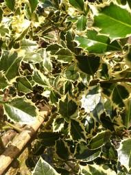 Weißbunte Gartenhülse 'Argentea Marginata' / Ilex aquifolium 'Argentea Marginata' 150-175 cm Solitär mit Ballierung