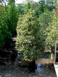 Stechpalme 'Pyramidalis Aurea Marginata' / Ilex aquifolium 'Pyr. Aurea Marginata' 175-200 cm Solitär mit Drahtballierung