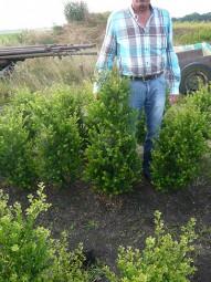 Kleinlaubige Japan-Hülse 'Green Hedge' / Ilex crenata 'Green Hedge' 100-120 cm mit Ballierung