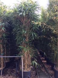 Japanischer Pfeilbambus / Pseudosasa japonica 250-300 cm im 70-Liter Container