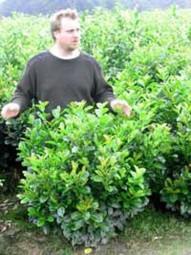 Kirschlorbeer 'Etna' / Prunus laurocerasus 'Etna' 100-125 cm Solitär mit Ballierung