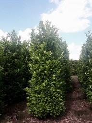Kirschlorbeer 'Novita' / Prunus laurocerasus 'Novita' 250-300 cm Solitär mit Drahtballierung