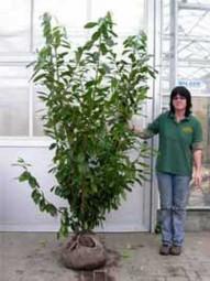 Kirschlorbeer 'Novita' / Prunus laurocerasus 'Novita' 175-200 cm mit Ballierung
