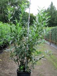 Kirschlorbeer 'Caucasica' / Prunus laurocerasus 'Caucasica' 150-175 cm im 20-Liter Container