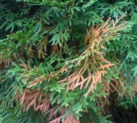 Krankheiten und Schädlinge von Heckenpflanzen