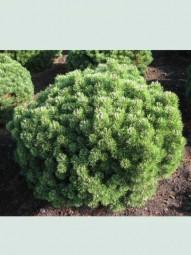 Kugel-Kiefer 'Mops' / Pinus mugo 'Mops' 100 - 125 cm Solitär mit Drahtballierung
