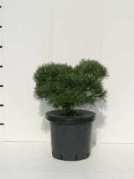 Kugel-Kiefer 'Mops' / Pinus mugo 'Mops' 25-30 cm Breite im 5-Liter Container