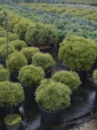 Kugel-Kiefer 'Mops' / Pinus mugo 'Mops' 40-50 cm Breite im 12-Liter Container