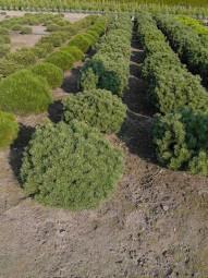 Kugel-Kiefer 'Mops' / Pinus mugo 'Mops' 70 - 80 cm Solitär mit Drahtballierung