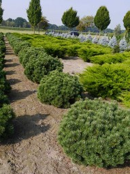 Kugel-Kiefer 'Mops' / Pinus mugo 'Mops' 80 - 100 cm Solitär mit Drahtballierung