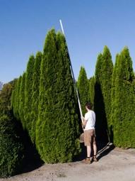 Lebensbaum 'Smaragd' / Thuja occidentalis 'Smaragd' 400-450 cm Solitär mit Drahtballierung