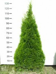 Lebensbaum 'Smaragd' / Thuja occidentalis 'Smaragd' 100-125 cm Solitär mit Ballierung