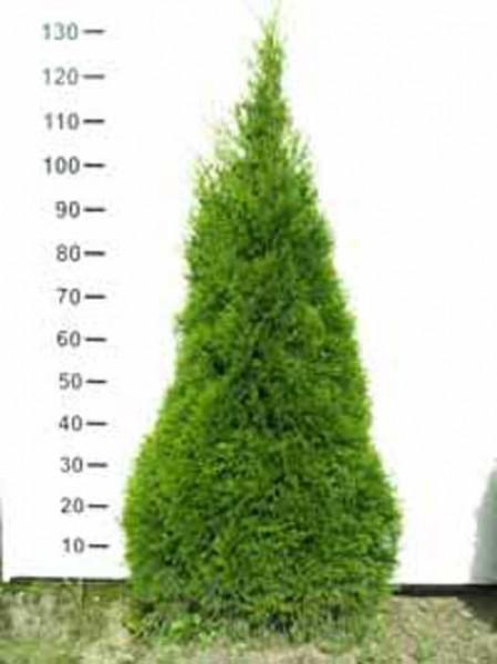 lebensbaum 39 smaragd 39 thuja occidentalis 39 smaragd 39 100 125 cm solit r mit ballierung g nstig kaufen. Black Bedroom Furniture Sets. Home Design Ideas