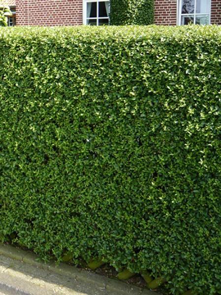 wintergr ner liguster zaunriegel ligustrum vulgare 39 atrovirens 39 80 100 cm wurzelnackt. Black Bedroom Furniture Sets. Home Design Ideas