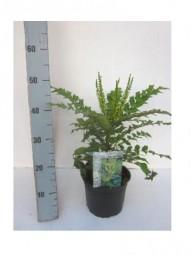 Schmuckblatt-Mahonie / Mahonia bealei 40-60 cm im 4-Liter Container
