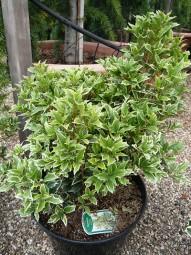 Stachelblättrige Duftblüte 'Goshiki' / Osmanthus heterophyllus 'Goshiki' 40-50 cm im 4-Liter Container