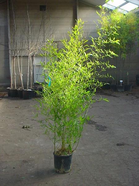 knoten bambus phyllostachys aurea 150 175 cm im 12 liter. Black Bedroom Furniture Sets. Home Design Ideas