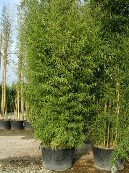 knoten bambus phyllostachys aurea 500 600 cm im 150. Black Bedroom Furniture Sets. Home Design Ideas
