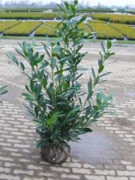 Kirschlorbeer 'Caucasica' / Prunus laurocerasus 'Caucasica' 100-125 cm mit Ballierung