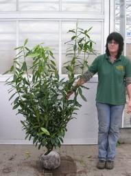 Kirschlorbeer 'Caucasica' / Prunus laurocerasus 'Caucasica' 125-150 cm mit Ballierung