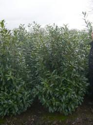 Kirschlorbeer 'Caucasica' / Prunus laurocerasus 'Caucasica' 150-175 cm Solitär mit Drahtballierung