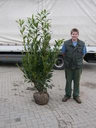 Kirschlorbeer 'Caucasica' / Prunus laurocerasus 'Caucasica' 150-175 cm mit Ballierung
