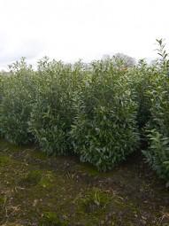 Kirschlorbeer 'Caucasica' / Prunus laurocerasus 'Caucasica' 175-200 cm Solitär mit Drahtballierung