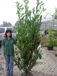 Kirschlorbeer 'Caucasica' / Prunus laurocerasus 'Caucasica' 200-250 cm mit Ballierung