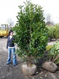 Kirschlorbeer 'Caucasica' / Prunus laurocerasus 'Caucasica' 250-300 cm Solitär mit Drahtballierung