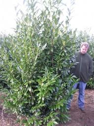 Kirschlorbeer 'Caucasica' / Prunus laurocerasus 'Caucasica' 300-350 cm Solitär mit Drahtballierung